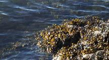 Fucus Kelp/Rockweed