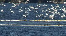 Commercial Fishing: Diving Bald Eagles And Gulls