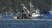 Diving Bald Eagles And Gulls: Sitka Sound Sac Roe Herring Fishery