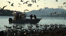 Gulls Flock Around Alaska Natives Fishing For Herring With A Casting (Throwing) Net