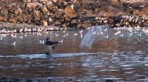 Alaska Native Use Nets To Catch Herring