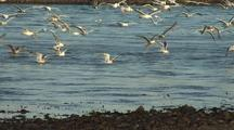 Sea Birds Feed On Herring