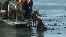 Local Subsistence Fishermen Collect Kelp In Order To Harvest Sitka Sound Herring Eggs.