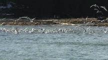 Sea Birds Chase Schools Of Spawning Herring
