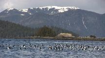 Sea Birds: Lesser Scaup Ducks