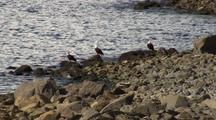 Bald Eagles Along A Remote Beach