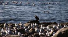 Bald Eagle And Herring Gulls