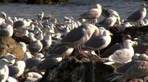 Sea Birds: Masses Of Herring Gulls