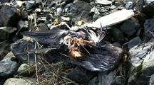 A Dead Bald Eagle (The Eagle Died From Winter Exposure & Starvation)