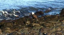 Bald Eagle & Ocean Surf