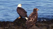 Mature And Young Bald Eagle On Rocks, Good Comparison