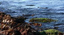 Tidal Pool:  Algae, Seaweed, And Laminaria Kelp