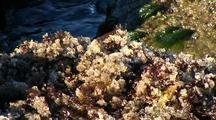 Tidal Pool:  Herring Eggs Deposited On Lithothrix Aspergillum