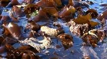 Herring Eggs Deposited On Kelp. Harvested By Alaska Natives