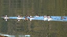 Beach At Low Tide: Bufflehead Ducks