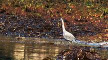 Beach At Low Tide: Great Blue Heron