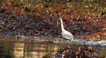 Beach At Low Tide: Great Blue Heron