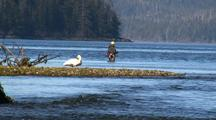 A Fly Fisherman Shares The Waters With A Trumpeter Swan.
