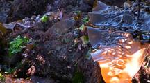 Tide Pool: Red, Green And Brown Algae