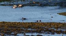 Ducks: Northern Shovelers