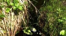 Rainforest:  Small Stream Filled With Green Algae