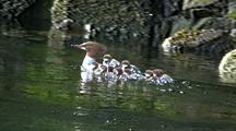Duck: Merganser & Young