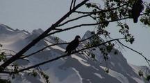 Bald Eagle & Alpine Scenery