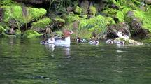 Duck: Merganser With Her  Young Feeding