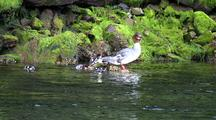 Ducks: Merganser And Ducklings