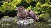 River Otter Grooming