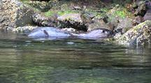 River Otter Trying To Catch A Fish In The Rocks.