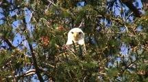 Bald Eagle Thinks He's Hidden