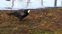 Raven Eating A Cockle Clam