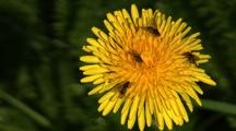 Bug Covered Flower. Dandelion