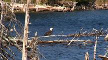 Alpine Lake & Bald Eagle