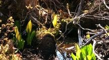 Skunk Cabbage In Muskeg