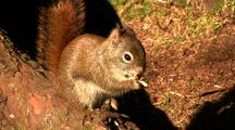Squirrel Eating A Fir Cone