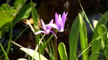 Shooting Star Flowers In Muskeg