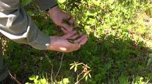Picking Labrador Tea