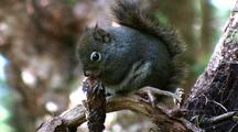 Squirrel Feeds On Fir Cone