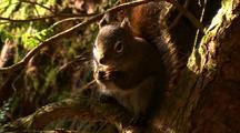 Squirrel Feeding In Tree