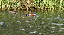Ducks: Harlequin Ducks