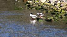 Ducks: Common Merganser