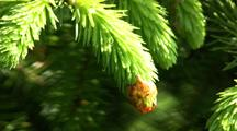 Spruce Tree Tips: Used To Make Tea Or Jelly.