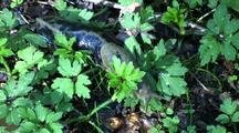 Tongass Rainforest: Banana Slug