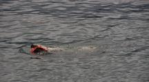 A Steller Sea Lion Eats A Salmon
