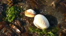 Tide Pool: Gaper Clam