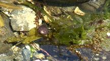 Tide Pool: Hermit Crab