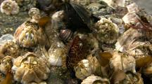 Tide Pool: Barnacles & Mussels