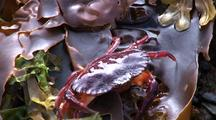 Tide Pool: Red Crab, Laminaria